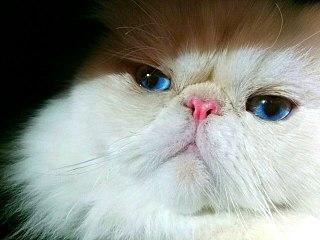 Himalayan cat Breed of cat