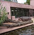 Hippopotamus amphibius01.jpg