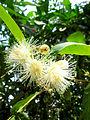 Hoa của loài roi.jpg