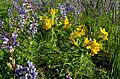 Hoary Puccoon and Wild Lupine (27442986312).jpg