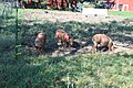 Hogs Feeding in a Farmyard, 4501 Stein Road, Ann Arbor Township, Michigan - panoramio.jpg