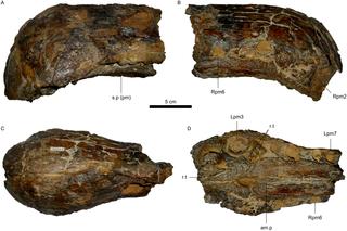 <i>Oxalaia</i> Genus of reptiles (fossil)