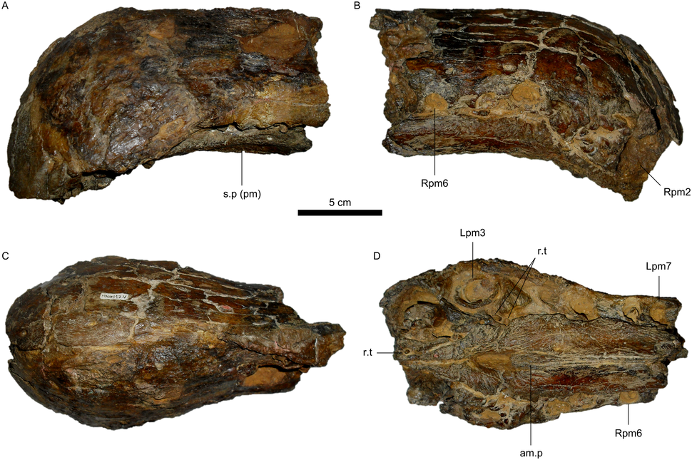 Holotype snout fossil of Oxalaia in right lateral view, left lateral view, ventral view, and slightly oblique ventral view