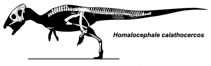 Homalocephale calathoceros
