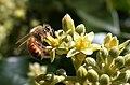 Honeybee (Apis mellifera) pollinating Avocado cv. Zutano (Persea americana) flower.JPG