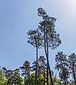 Hoog opgaande sparren (Picea). Locatie, Kroondomein Het Loo.jpg