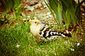 Hoopoe at Gorikot.jpg