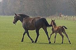 Das Fohlen kann der Mutter schon kurz nach der Geburt folgen