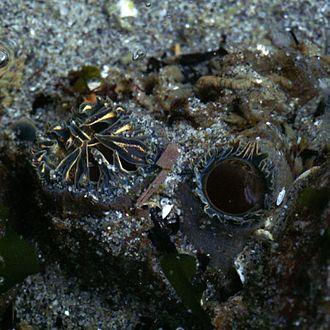 Tresus capax - Siphons of Tresus capax (Gould, 1850)