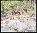 Horses grazing. Comb on Tuyra River. 1912. (3608380272).jpg