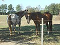 Horses in Alabama Field 12.jpg