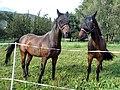 Horses in Sion.jpg