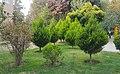 Hossein Nuri's Pine Tree at Andisheh Park.jpg