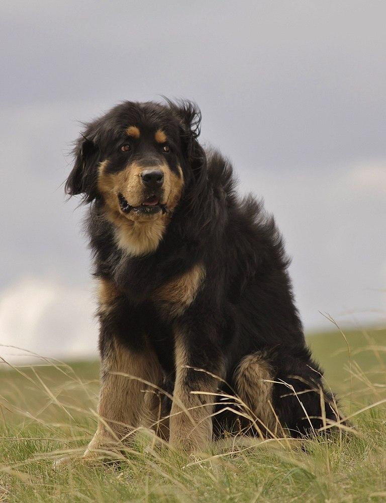 Бурят-монгольский волкодав (Хотошо)