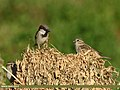 House Sparrow (Passer domesticus) (38231169566).jpg