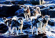 A group of Canadian Eskimo Dogs