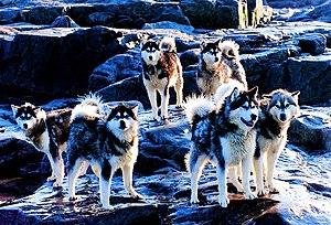 """Husky (Canadian Inuit Dog, Inuithund), """"Tier des Territoriums Nunavut"""""""