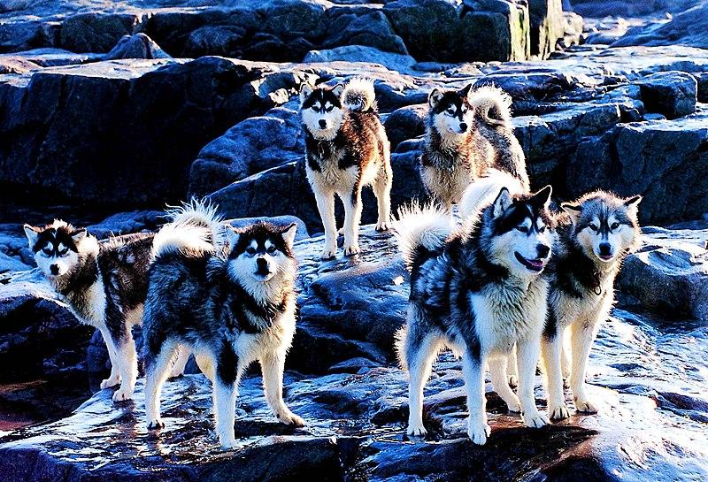 Datei:Huskies 2000-08-24.jpg