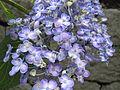 Hydrangea macrophylla 'Uzuajisai' 2.JPG