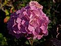 Hydrangea macrophylla (4107796432).jpg