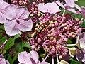 Hydrangea macrophylla 2018-07-09 4743.jpg