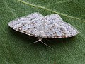 Hydrelia sylvata - Waved carpet - Пяденица ольховая (40242787314).jpg