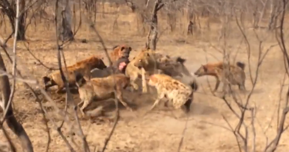 Hyenas Fight Against Lions Over a Kill HD 10