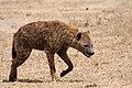 Hyene tachetée 1.jpg