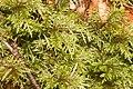 Hylocomium splendens (a, 144626-474739) 3902.jpg