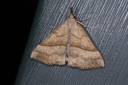 Hypena proboscidalis, Lodz(Poland)03(js).jpg