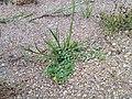 Hypericum humifusum sl22.jpg