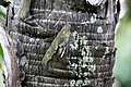 Hyphaene thebaica 23zz.jpg