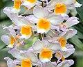 IMG 5449-Dendrobium farmeri.jpg
