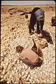 INDUSTRIOUS SCAVENGERS FIND THAT MANY OF THE ONIONS DISCARDED BY A PROCESSING PLANT, ARE FINE FOR THE POT - NARA - 549044.jpg