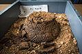 INRAP présentation fouilles Obernai 6000 ans occupation 24 octobre 2013 28.jpg