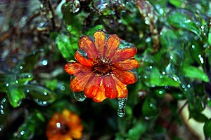 January 2007 North American Ice Storm - Image of a flower covered in ice after a winter storm closed the main highways in San Antonio, Texas in January 2007.