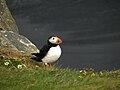 Iceland - Puffin - Dyrholaey - Road Trip - Chordata (4890575954).jpg