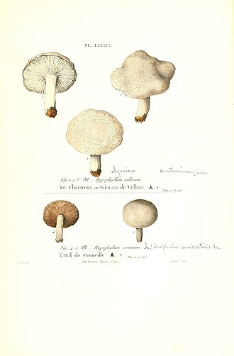 Agaricus - 1855 field notes with synonymy of Hypophyllum  (quoted literarure) with Omphalia and Agaricus (added handwritten notes).