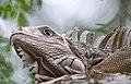 Iguana iguana - Grön leguan-1-2 - Flickr - Ragnhild & Neil Crawford.jpg