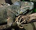 Iguane Ile aux serpents 14 11 08 1.jpg