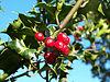 Ilex-aquifolium (Europaeische Stechpalme-1)