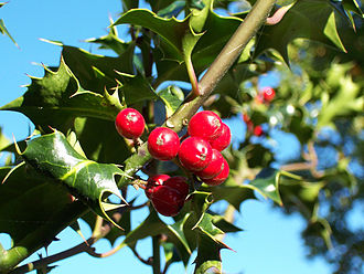 Holly - European holly (Ilex aquifolium) leaves and fruit
