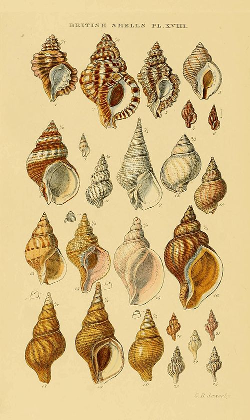 Illustrated Index of British Shells Plate 18.jpg