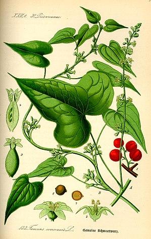 Dioscorea communis - Image: Illustration Tamus communis 0