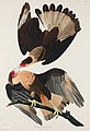 Illustration from Birds of America (1827) by John James Audubon, digitally enhanced by rawpixel-com 161.jpg