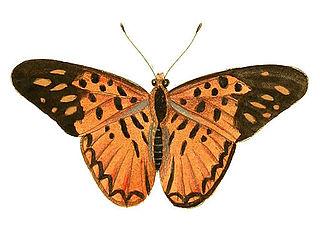 <i>Pseudacraea hostilia</i> species of insect