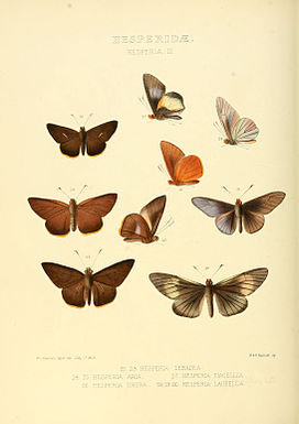 Illustrations of new species of exotic butterflies Hesperia III.jpg