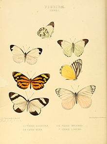 Illustrations of new species of exotic butterflies Pieris I.jpg