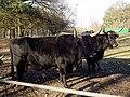 Imposanter Stier und Kuh.JPG