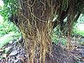 Indian Rubber Tree - ഇന്ത്യൻ റബ്ബർ മരം 03.JPG